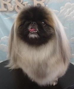 ペキニーズ シャンプーセット 桃尻カット 飾り毛スッキリ ゼオライト歯磨き