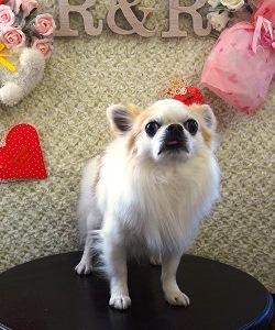 ロングコートチワワ シャンプーセット ハートマーク犬
