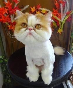 ペルシャ猫 ライオンカット ライオン尻尾