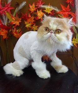 ペルシャ猫 ライオンカット ライオン尻尾 仕上げ出来ず