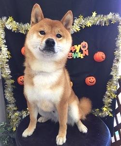 柴犬 シャンプーセット
