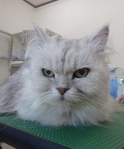 ペルシャ猫 シャンプーセット