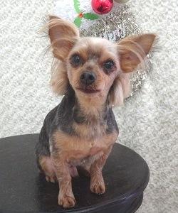 ヨークシャテリア 全身3ミリ お顔チワワのように短く 頭の後ろ&耳の飾り毛残し